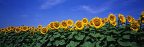 Field Of Sunflowers, Bogue, Kansas, USA by Panoramic Images