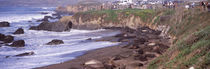Elephant seals on the beach, San Luis Obispo County, California, USA by Panoramic Images