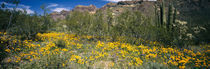 Flowers in a field, Organ Pipe Cactus National Monument, Arizona, USA von Panoramic Images