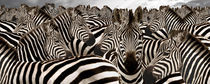 Herd of zebras by Panoramic Images