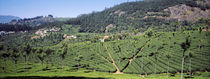 Tea plantation, Coonoor, Nilgiris, Kerala, India by Panoramic Images