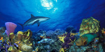 Caribbean Reef shark Rainbow Parrotfish  in the sea by Panoramic Images
