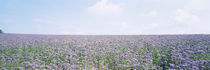 Field of phacelia, Germany by Panoramic Images