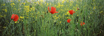 Poppies blooming in oilseed rape  field, Baden-Wurttemberg, Germany by Panoramic Images