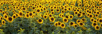 Sunflowers (Helianthus annuus) in a field, Bouches-Du-Rhone, Provence, France by Panoramic Images