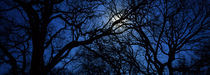 Silhouette of Oak trees, Texas, USA by Panoramic Images