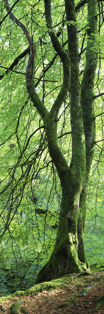 Moss growing on a beech tree, Perthshire, Scotland by Panoramic Images