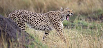 Cheetah walking in a field von Panoramic Images