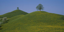 Green Hill w/ yellow flowers & tree Canton Zug  Switzerland by Panoramic Images