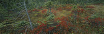 High angle view of trees in a forest, Acadia National Park, Maine, USA von Panoramic Images