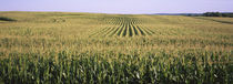 Corn crop in a field, Southeast Minnesota, Minnesota, USA by Panoramic Images