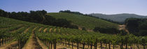 Vineyard on a landscape, Napa Valley, California, USA by Panoramic Images
