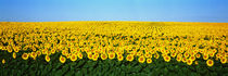 Sunflower Field, North Dakota, USA by Panoramic Images