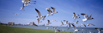 Flock of seagulls flying on the beach, New York State, USA by Panoramic Images