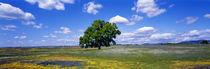 Panorama Print - Baum im Blumenmeer, Tafelberg, Oroville, Kalifornien, USA von Panoramic Images