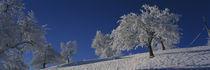 Panorama Print - Kirschbäume auf einer schneebedeckten Landschaft Schweiz  von Panoramic Images