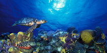 Hawksbill turtle  and French angelfish  with Stoplight Parrotfish von Panoramic Images