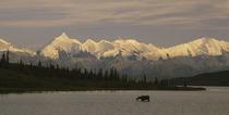 Moose standing on a frozen lake, Wonder Lake, Denali National Park, Alaska, USA by Panoramic Images