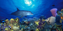 Bottle-Nosed dolphin and Gray angelfish on coral reef in the sea by Panoramic Images