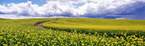 Road, Canola Field, Washington State, USA by Panoramic Images