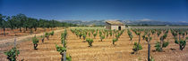 Vineyard on a landscape, Santa Eugenia, Majorca, Spain von Panoramic Images