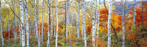 Fall Trees, Shinhodaka, Gifu, Japan von Panoramic Images