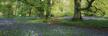 Bluebells in a forest, Thorp Perrow Arboretum, North Yorkshire, England von Panoramic Images