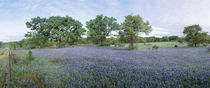 Field of Bluebonnet flowers, Texas, USA von Panoramic Images