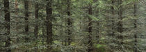 Trees in a forest, Spruce Forest, Joutseno, Finland by Panoramic Images