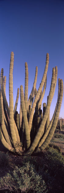 Organ Pipe Cactus National Monument, Arizona, USA by Panoramic Images