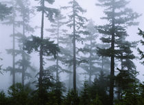 Hemlock Tree, Olympic Mountains, Olympic National Park, Washington State, USA by Panoramic Images