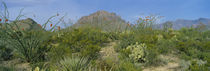 Ocotillo Plants In A Park, Big Bend National Park, Texas, USA von Panoramic Images