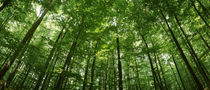Low angle view of beech trees, Baden-Wurttemberg, Germany by Panoramic Images