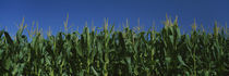 Corn crop in a field, New York State, USA by Panoramic Images