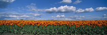 Clouds over a tulip field, Skagit Valley, Washington State, USA von Panoramic Images