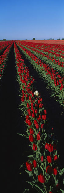 Field of red tulip flowers by Panoramic Images