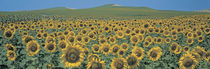 Sunflower field Andalucia Spain von Panoramic Images