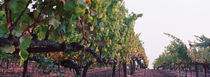 Crops in a vineyard, Sonoma County, California, USA by Panoramic Images