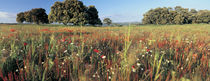 Wild flowers in a field, Andalucia, Spain by Panoramic Images