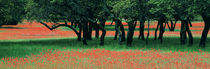 Indian Paintbrushes And Scattered Oaks, Texas Hill Co, Texas, USA von Panoramic Images