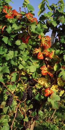 Germany, Lake Konstanz, Fresh grapes in the vineyard by Panoramic Images