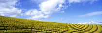 Panorama Print - Mustard Fields, Napa Valley, Kalifornien, USA von Panoramic Images