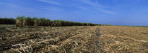 Harvested sugar cane field, near Cien Fuegos, Cuba by Panoramic Images