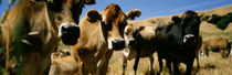Close Up Of Cows, California, USA von Panoramic Images