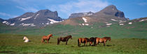 Horses Standing And Grazing In A Meadow, Borgarfjordur, Iceland by Panoramic Images