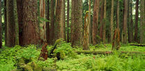 Forest floor Olympic National Park WA USA by Panoramic Images
