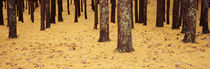 Low Section View Of Pine And Oak Trees, Cape Cod, Massachusetts, USA von Panoramic Images