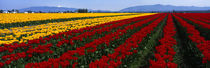 Panorama Print - Tulpenfeld, Mount Vernon, Washington State, USA von Panoramic Images