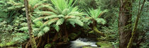 Rainforest, Mt. Field National Park, Tasmania, Australia by Panoramic Images