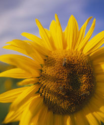 Close-up of a Sunflower (Helianthus annuus), Baden-Wurttemberg, Germany by Panoramic Images